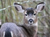 pic of black tail deer  - A Black-tail Deer staring at the viewer in Western Washington ** Note: Slight graininess, best at smaller sizes - JPG