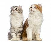 Постер, плакат: Два американских Curl котята 3 месяца сидит и смотрит вверх перед белый фон