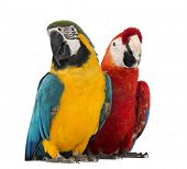 image of green-winged macaw  - Blue - JPG