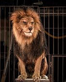foto of growl  - Gorgeous lion sitting in a circus arena cage - JPG