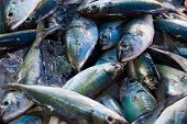 stock photo of chub  - Chub mackerels - JPG