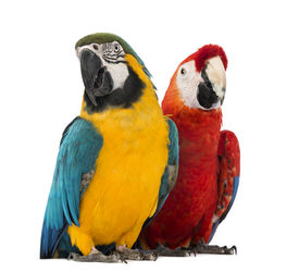 stock photo of green-winged macaw  - Blue - JPG