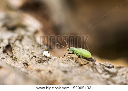 Shot Of A Green Weevil