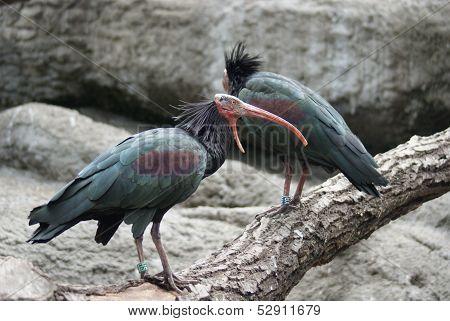 Waldrapp Ibis - Geronticus Eremita