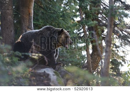 Grizzly Bear Roaring In The Woods