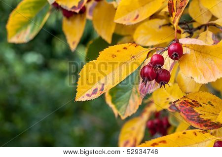 Whitebeam In Fall