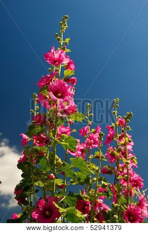 Pink common Hollyhock flowers in front of a blue sky