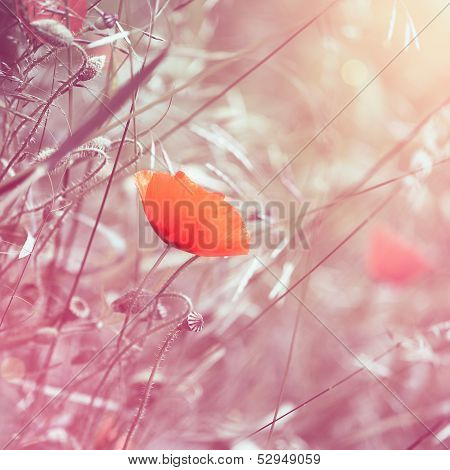 Dreamy Floral Poppy Background With Pink Toning