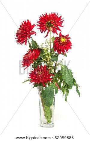 red dahlias isolated on white