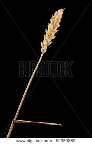 ear of wheat isolated on black