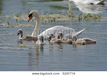 Swan Swimming With Signets
