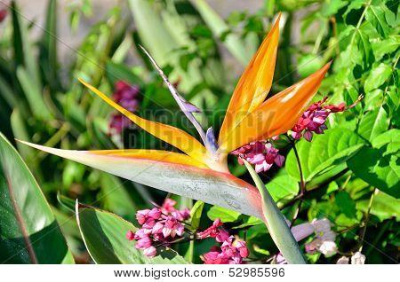 Bird of Paradise Flowering