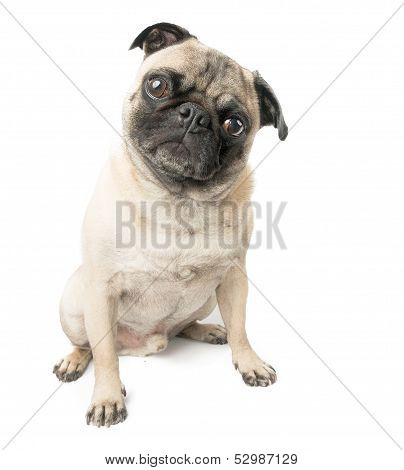 Pug Dog Sitting and Adorable, Isolated on a White Background