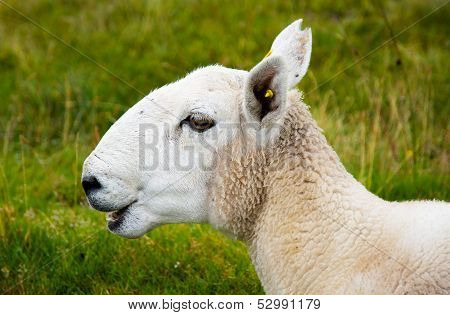 Bleating young sheep