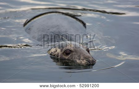 Cautious seal lying motionless in the water