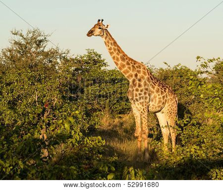 Tall African Giraffe Looking Down At Camera
