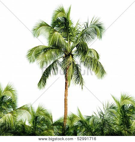 High Coconut Tree Isolated On White Background