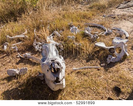 Skull Of Large Rhino In The Grass In Zimbabwe