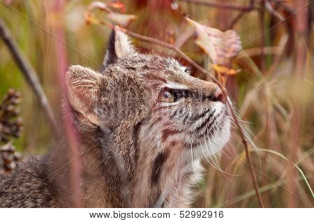 Bobcat (Lynx rufus) Looks Up Amongst Weeds