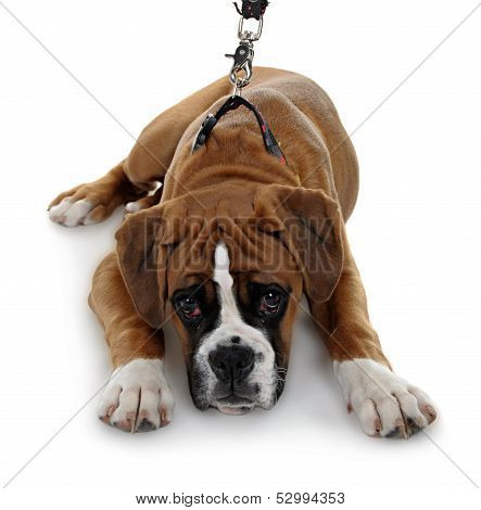 red dog breed boxer a white background.
