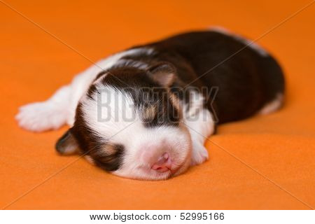 A Cute Sleeping One Week Old Chocolate Havanese Puppy Dog