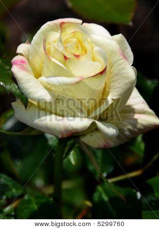 Rose After Rain