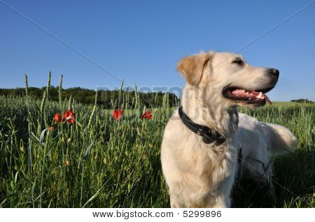 Dog In Wheat Field