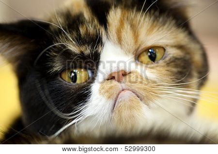 Grumpy facial expression Exotic tortoiseshell cat