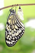 foto of larva  - amazing moment about butterfly change form chrysalis - JPG