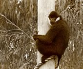 image of south east asia  - Male White Cheeked Gibbon at Wellington Zoo - JPG