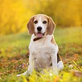 stock photo of puppy beagle  - Beagle dog portrait on sunshine background in nature - JPG
