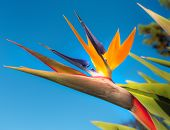 picture of bird paradise  - Bird of Paradise Flower in a Garden - JPG