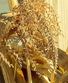 foto of corn stalk  - Tassels of mature corn in front of corn stalks and husks - JPG