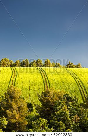 spring field with trees, Plateau de Valensole, Provence, France