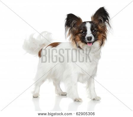 Papillon Dog (continental Toy Spaniel)