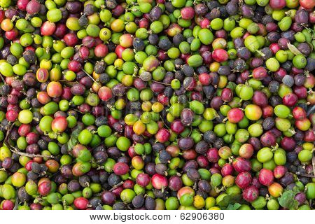 Background Of Natural Coffee Beans Ripening