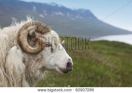 Iceland. Seydisfjordur. Icelandic Lamb And Fiord.