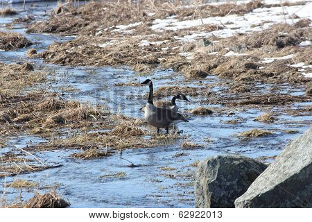 Canada Geese in Stream
