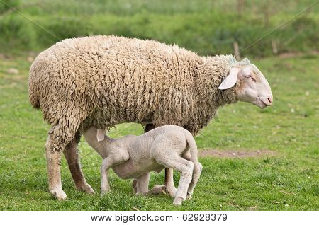 Wuerttemberg Sheep