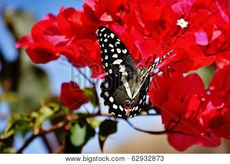Great Emperor Butterfly