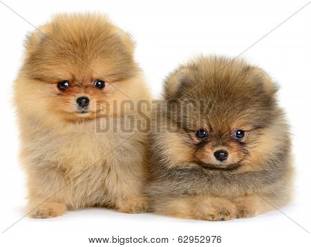 two pomeranian puppy the age of 1,5 month isolated on white