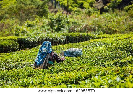 Unidentified Indian woman harvests tea leaves at tea plantation at Munnar. Only the uppermost leaves are collected, and workers collect daily up to 30 kilos of tea leaves