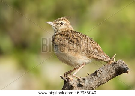 Crested Lark Sitting On A Perch