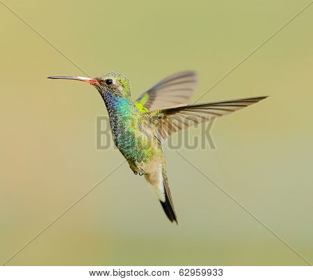 Broad Billed Hummingbird in Flight