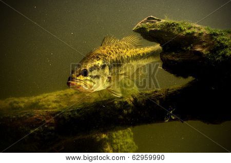 Largemouth Bass Fish In Lake