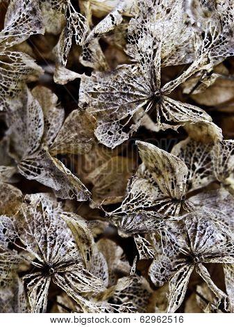 Closeup of Dried Hydrangea Flowers