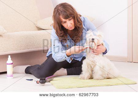 Woman grooming a dog purebreed maltese.