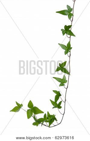 Ivy Stem Isolated.