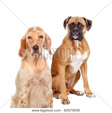 Two different breed dogs sitting on white background