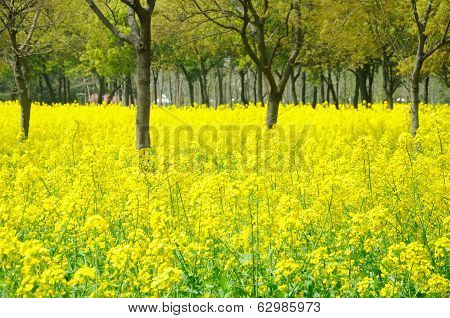 Yellow Rape Flowers